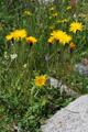 Raues Schutt-Milchkraut/Leontodon hispidus ssp. pseudocrispus