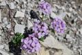 Tabouret à feuilles rondes/Thlaspi rotundifolia ssp.rotundifolium