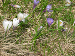 Crocus de printemps/Crocus albiflorus