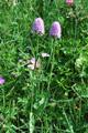 Orchis globuleux/Traunsteinera globosa
