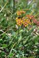 Bupleuro con foglie lunghe/Bupleurum longifolium
