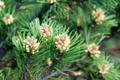 Leg-Föhre/Pinus muge ssp. mugo