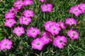 Oeillet oeil de paon/Dianthus pavonius
