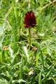 Schwarzes Männertreu/Nigritella rhellicani, Nigritella nigra