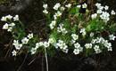 Sassifrage androsace/Saxifraga androsacea