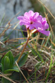 Primevère glauscente/Primula glaucescens