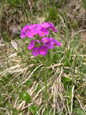 Mehlprimel/Primula farinosa