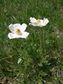 Anémone du Mont Baldo/Anemone baldensis