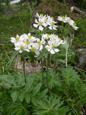 Anémone à fleurs de narcisse/Anemone narcissiflora