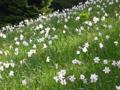 Narcisse à fleurs rayonnantes/Narcissus radiiflorus