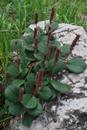 Saule réticulé/Salix reticulata