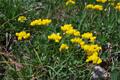 Niederliegender Geissklee/Cytisus decumbens