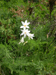 Weisse Trichterlilie/Paradisea liliastrum