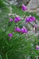 Piemonteser Lauch, Narzissenblütiger Lauch/Allium narcissiflorum