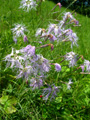 Oeillet superbe/Dianthus superbus