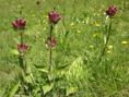 Purpur-Enzian/Gentiana purpurea