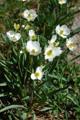 Renoncule pantain/Ranunculus kuepferi