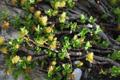 Saule à feuilles de serpolet/Salix serpyllifolia