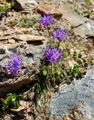 Raiponce rhétique/Phyteuma hedraianthifolium