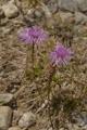 Rheinische Flockenblume/Centaurea rhenana Boreau