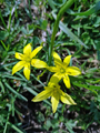 Gagea fragifera (fistulosa)