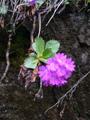 Rote Felsenprimel/Primula hirsuta