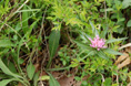 Salsifis méridional/Tragopogon porrifolius ssp. australis