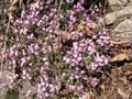 Rotes Seifenkraut/Saponaria ocymoides