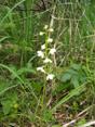 Pyrole à feuilles rondes/Pyrola rotundifolia