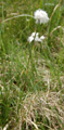 Scheiden-Wollgras/Eriophorum vaginatum