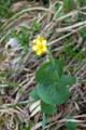 Schildblättriger Hahnenfuss/Ranunculus thora