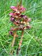 Zierliche Sommerwurz, Schlanker Würger/Orobanche gracilis