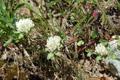 Schnee-Rot-Klee/Trifolium pratense ssp. nivale