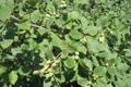 Schwarz-Erle (weibliche Pflanze)/Alnus glutinosa