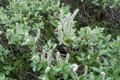 Salix glaucosericea