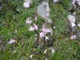 Oeillet de Sternberg/Dianthus sternbergii