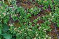 Stumpfblättrige Weide/Salix retusa