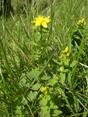 Erba di San Giovanni delle Alpi/Hypericum maculatum
