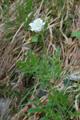 Pulsatilla alpina ssp.austroalpina