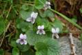 Sumpf-Veilchen/Viola palustris