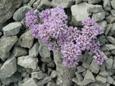 Doldentraubiges Täschelkraut/Thlaspi rotundifolia ssp.corymbosum