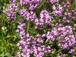 Frühblühender Thymian, Kriech-Quendel/Thymus praecox ssp.praecox
