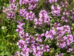 Thymus praecox ssp.praecox