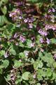 Sarriette à feuilles de menthe/Calamintha menthifolia