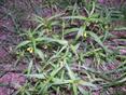Wald-Wachtelweizen/Melampyrum pratense