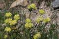 Walliser Wundklee/Anhtyllis vulneraria ssp.valesiaca