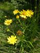 Weidenblättriges Rindsauge/Buphthalmum salicifolium