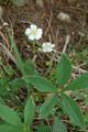 Potentille blanche/Potentilla alba
