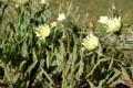 Weissliches Habichtskraut/Hieracium intybaceum