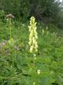 Aconito giallo/Aconitum vulparia